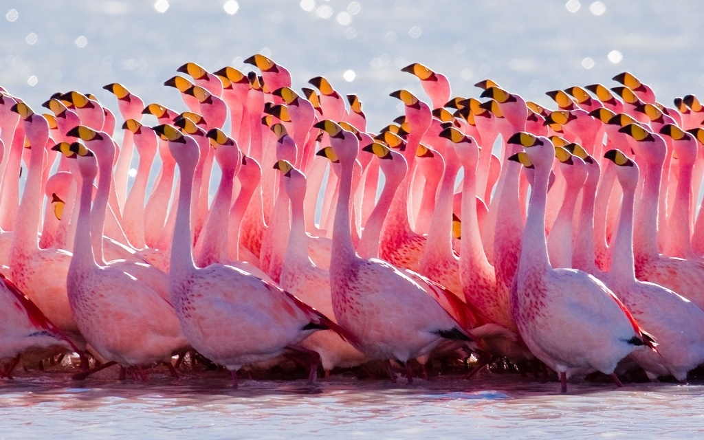 flamingo_mating_ritual-1680x1050